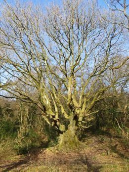 160225 brynna ancient oak (2)