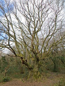 160225 brynna ancient oak (3)