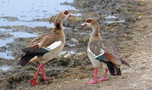 160227 egyptian goose (1)