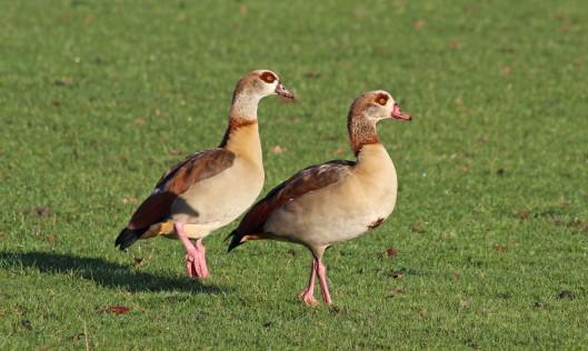 160227 egyptian goose (2)