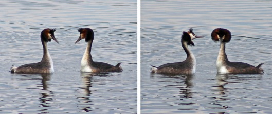 160228 great crested grebe (1)
