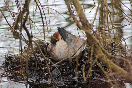 160228 great crested grebe (3)