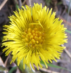 coltsfoot (5)