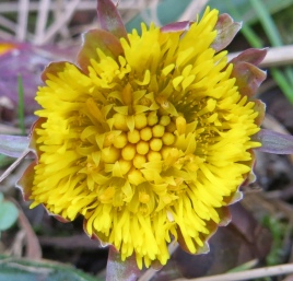 coltsfoot (8)