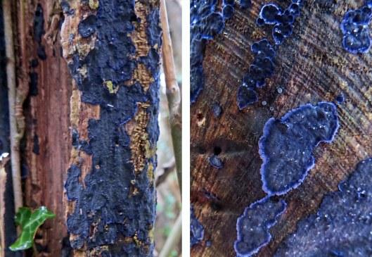 Terana caerulea Cobalt Crust (2)