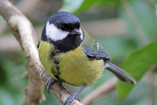 0 great tit