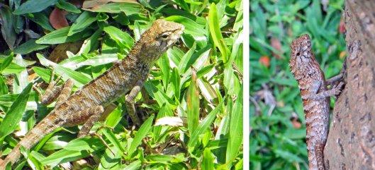 160301 oriental garden lizard (1)