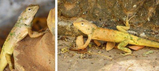 160301 oriental garden lizard (2)