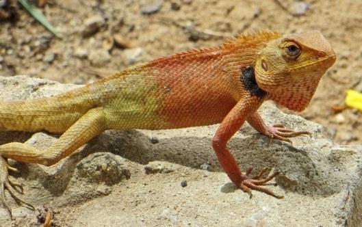 160301 oriental garden lizard (3)