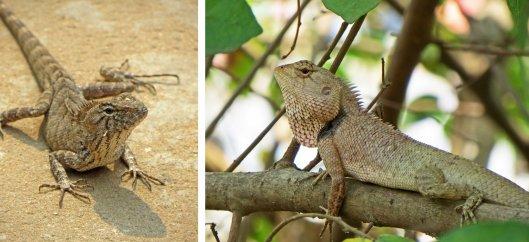 160301 oriental garden lizard (4)