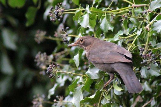 160305 ff3 blackbird