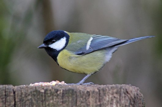 160305 ff4 great tit