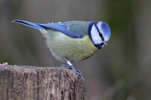 160305 ff5 blue tit