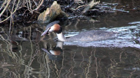 160307 great crested grebe nesting (2)