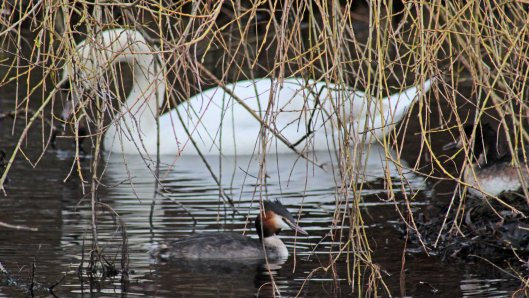 160307 great crested grebe nesting (5)