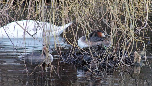 160307 great crested grebe nesting (6)