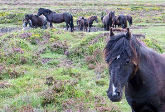 160313 dartmoor ponies (5)