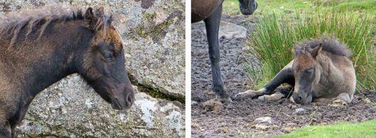 160313 dartmoor ponies (6)