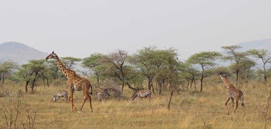 160315 giraffes 1 (1)