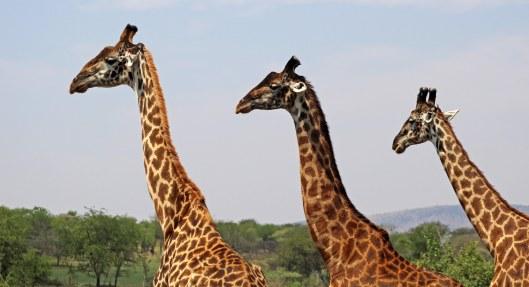 160315 giraffes 1 (2)
