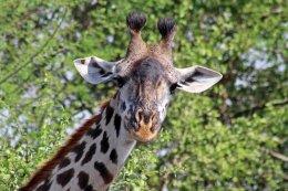 160315 giraffes 1 (4)