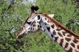 160315 giraffes 1 (5)