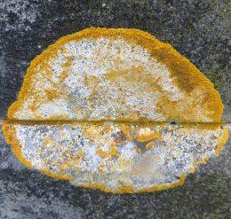 160318 caloplaca flavescens (2)