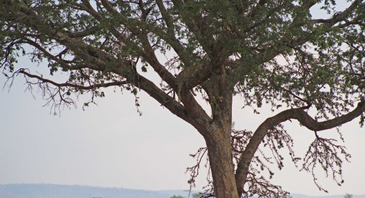 160319 leopard (11)