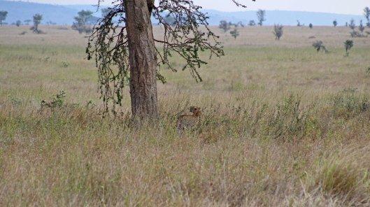 160319 leopard (2)