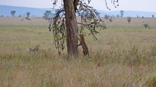 160319 leopard (3)