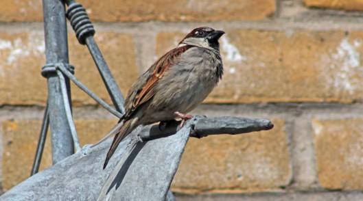 160320 sparrow (2)