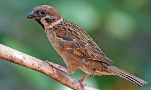160320 sparrow cambodia (1)