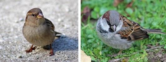 160320 sparrow nz (1)