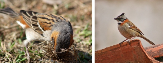160320 sparrow tanzania & rufous-collared peru