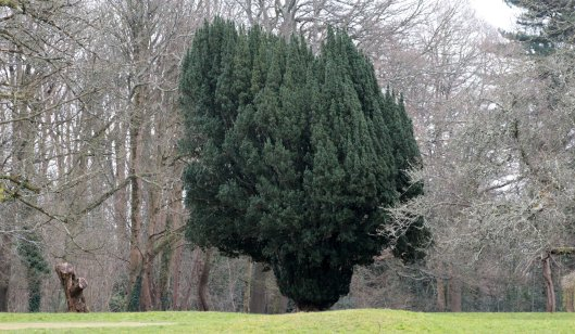 160321 yew tree heath