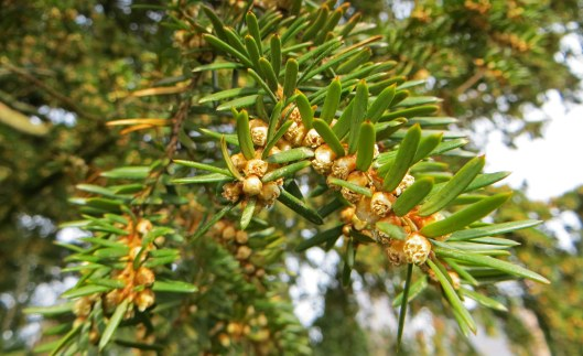 160321 yews flowering 1