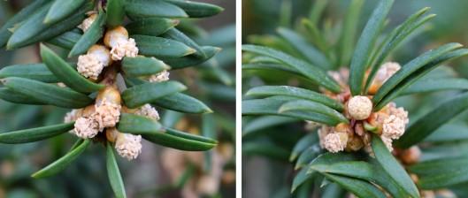 160321 yews flowering 2