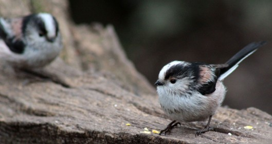 160324 long tailed tit (1)