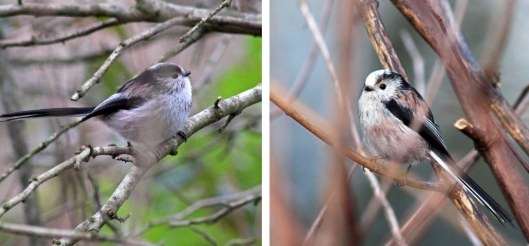 160324 long tailed tit (2)