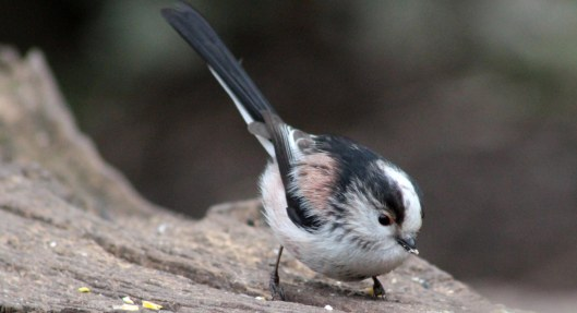 160324 long tailed tit (3)