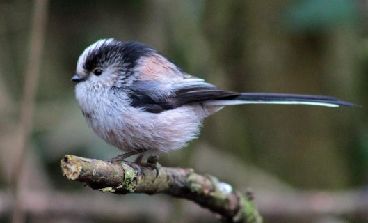160324 long tailed tit (4)