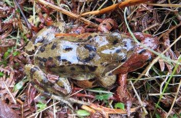 160326 common frog (2)
