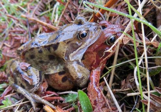 160326 common frog (3)