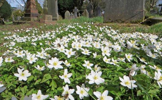 160329 wood anemone (1)