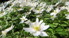 160329 wood anemone (3)
