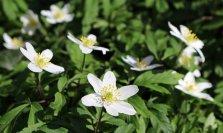 160329 wood anemone (4)