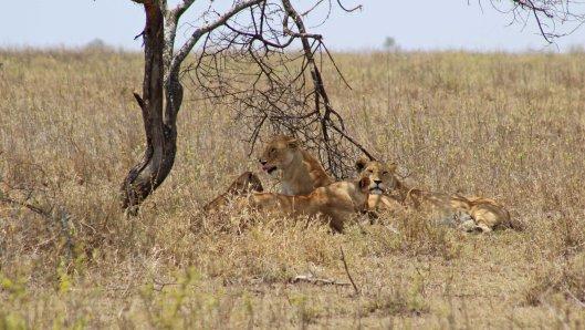 160330 lions (3)