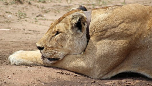 160330 lions (5)