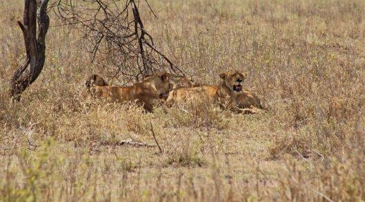 160330 lions (6)