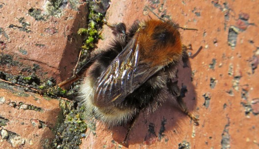 160402 Bombus hypnorum Tree bumblebee